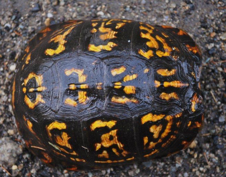 turtle shell pattern - 768×600